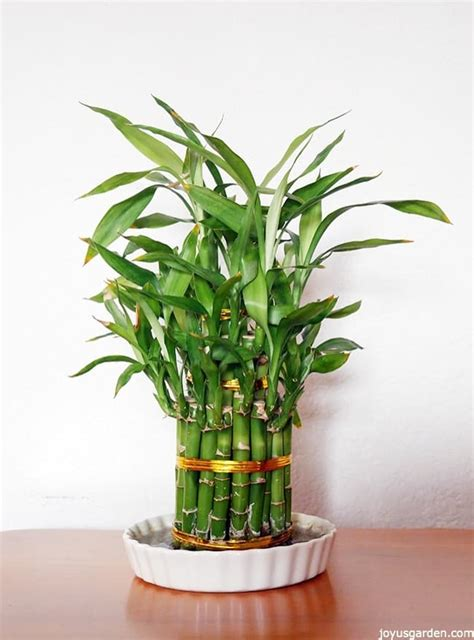 Lucky Bamboo Pflege by Lucky Bamboo Care Tips A Houseplant That Grows In Water