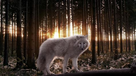 1080p Wolf Wallpaper Iphone X by White Wolf Wallpaper 1080p Is Cool Wallpapers