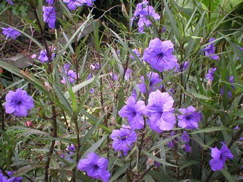 mexico plants belize the plants mexican petunia