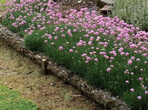 thrift plant thrift sea pink armeria armeria alpina bee s lilac