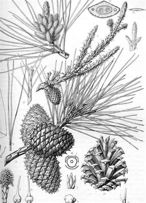 pinus rigida pitch pine description  gymnosperm