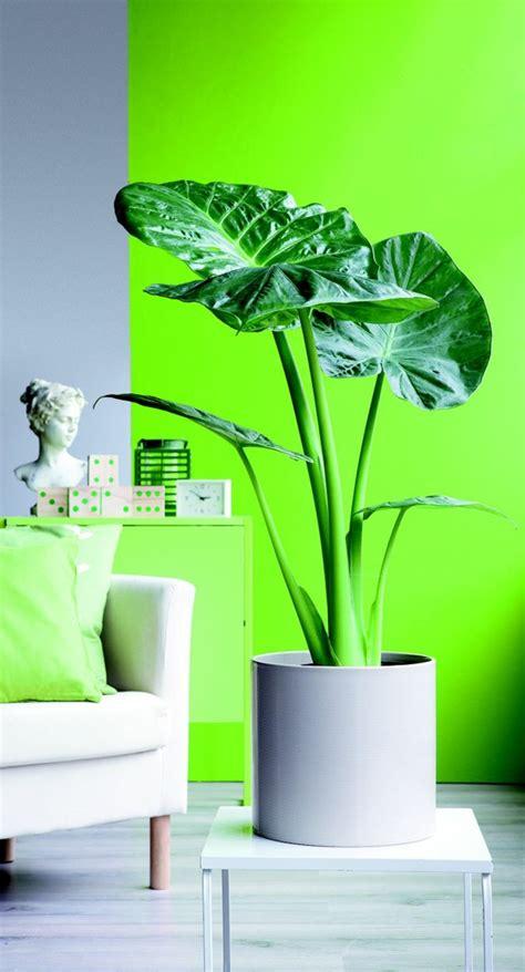 Neon Grün Wandfarbe by Elefantenohr Pflanze Wird Ihren Au 223 En Und Innenbereich