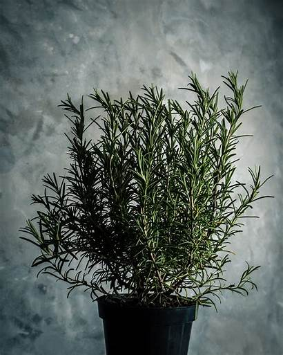 Rosemary Plant Plants Ant Repellent Outside Need