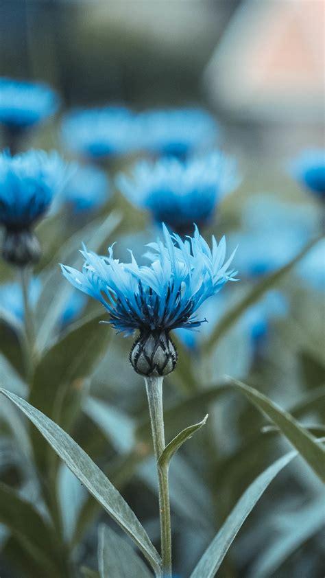 wallpaper blue flowers hd  flowers