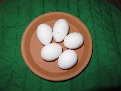 lakenvelder andalusian eggs barred rock breeds orps welsummer rocks golden chickens