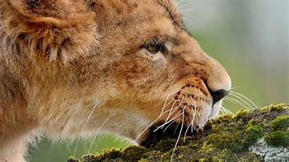 Lion Screensavers Background Meridian Pocketfullofgrace Walter Animal