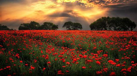 field  red poppies morning sunlight  dark