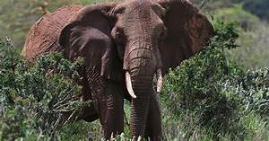Elephant poaching in Africa remains 'alarmingly high ...