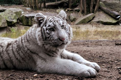 500+ White Tiger Pictures [hd]