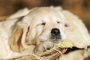 Gallery For > Sleeping Golden Retriever Puppy