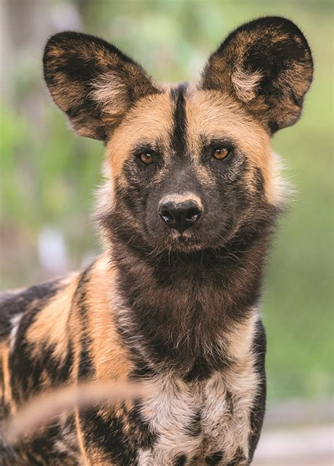 african painted dogs debut   la zoo park labrea