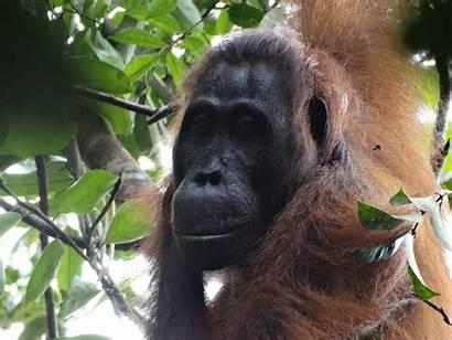 Female Orangutan Orangutans Had Attack Male Between