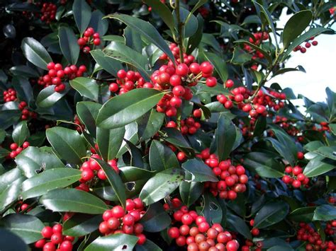 tree with berries ilex virginia holley berries wildlife garden pinterest evergreen trees red berries and