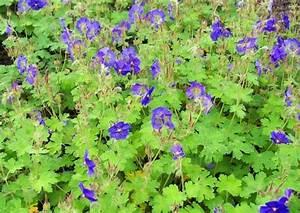 Bodendecker Blaue Blüten : 39 westzeit 39 beetrose und blau bl hende rosenbegleitpflanzen ~ Frokenaadalensverden.com Haus und Dekorationen