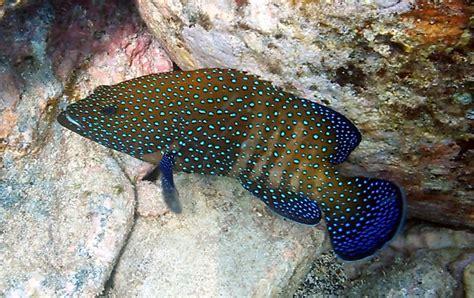 grouper peacock roi fish kahalu reef neate snorkel captain etc cook step