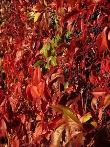 Rote Blätter Baum : kostenlose foto baum natur blatt blume dekoration ~ Michelbontemps.com Haus und Dekorationen