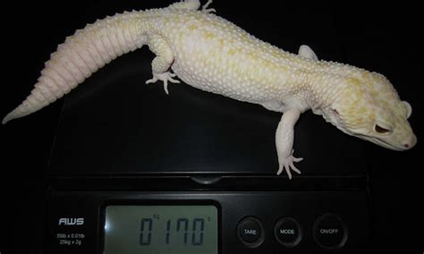 Do Baby Leopard Geckos Shed by 100 Do Baby Leopard Geckos Shed Leopard Gecko Best