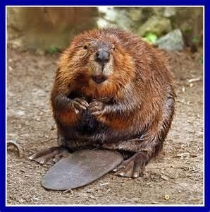 Oregon State Beavers Mascot