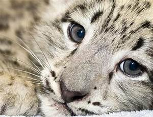 Play Your Part In Saving The Indian Snow Leopard ...