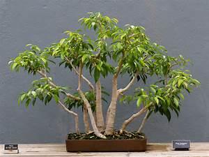 Ficus Benjamini Vermehren : file bbg ficus benjamina ~ Lizthompson.info Haus und Dekorationen
