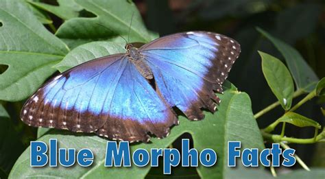 blue morpho butterfly facts information pictures video