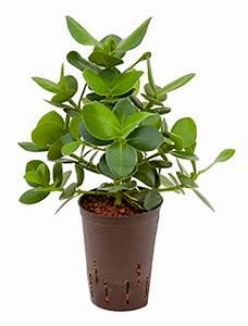 Hydrokultur Shop Online : clusia balsamapfel als b ropflanze online bestellen ~ Markanthonyermac.com Haus und Dekorationen