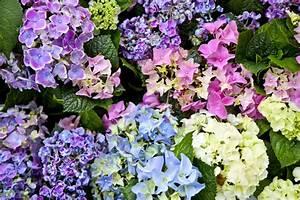 Sind Hortensien Winterhart : hortensien in diesen farben bl ht die hydrangea ~ Orissabook.com Haus und Dekorationen
