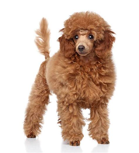 poodle names french standard toy names  poodles