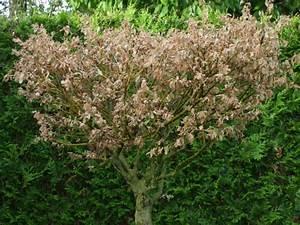 Quand Tailler Un Saule Crevette : qu 39 avez vous fait au jardin d 39 ornement aujourd 39 hui ~ Melissatoandfro.com Idées de Décoration