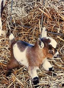 Pick: Cute Kid Of The Day   Baby goats, Pygmy goats and ...