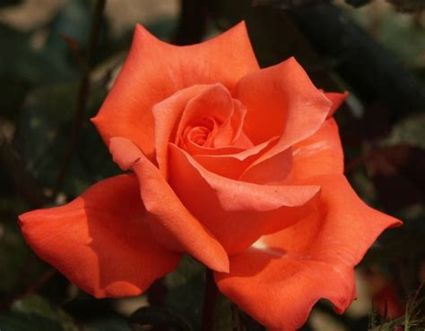 las vegas rose orange hybrid tea rose