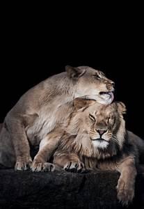 lion   Tumblr
