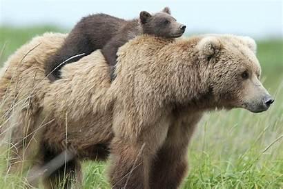 Bear Cubs Bears Teddy Mom Adorable Between