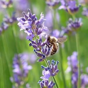 Lavendel Schneiden Im Herbst : schmalbl ttriger lavendel lavandula angustifolia 39 munstead 39 ~ Lizthompson.info Haus und Dekorationen