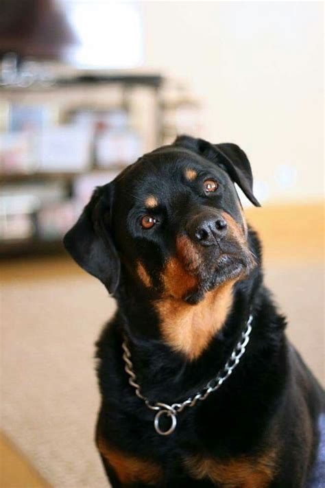 images  rottweilers  pinterest  dogs