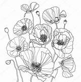 Poppies Coloring Poppy Botanical Drawing Drawings Line Flower Sketch sketch template