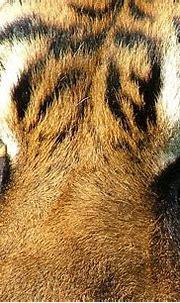 Tiger eyes | Tigers (Panthera tigris) taken at the ...