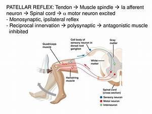 Patellar Reflex Diagram