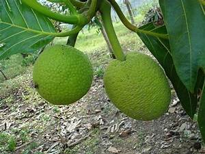 Arbre A Fruit : photo l 39 arbre pain et son fruit tropical ~ Melissatoandfro.com Idées de Décoration