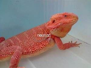 Sell >> Super Red Bearded Dragon