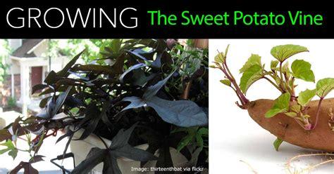 Decorative Potato Plant - how to care for ornamental sweet potato vine
