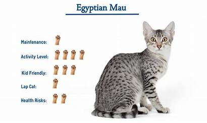 Egyptian Mau Cat Breed Breeds Spotted Know