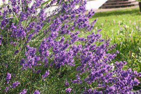 pflanzen die schnecken nicht mö pflanzen die schnecken nicht m 246 gartentipps