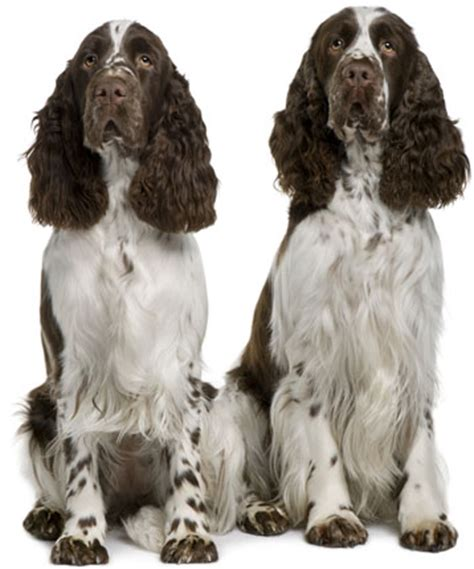 springer spaniel shedding springer spaniel information facts pictures