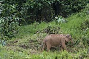 Pics For > Asian Elephants Habitat