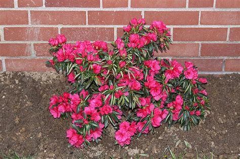 how do you care for bushes how to care for azalea bushes hunker