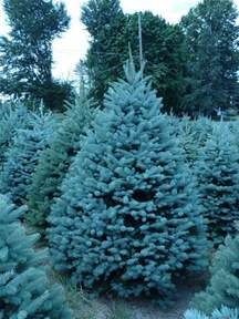 wholesale colorado blue spruce trees