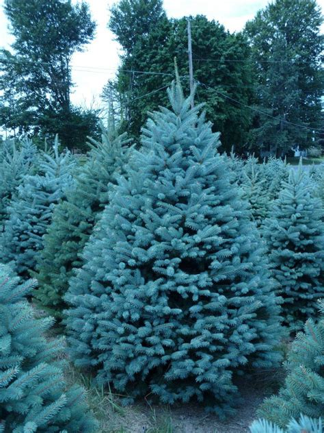 spruce trees wholesale colorado blue spruce trees