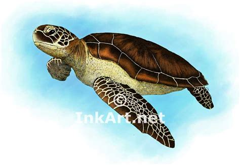 colors of the turtles green sea turtle stock illustration