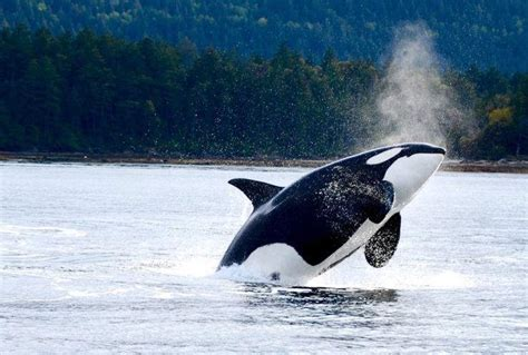 tilikum  orca entertained     born   wild